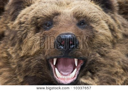 Bear Closeup