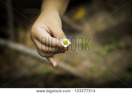 Little Child Hand With Daisy Flower