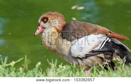 Egyptian goose is standing near green water