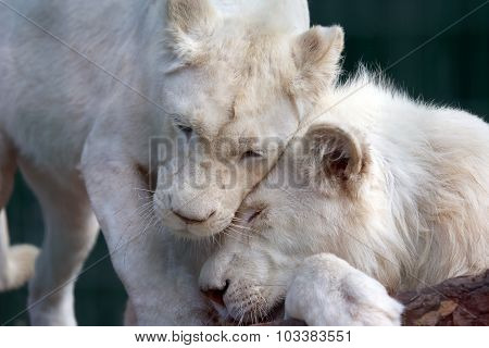 White Lion And Lioness Show Each Other Tenderness And Love