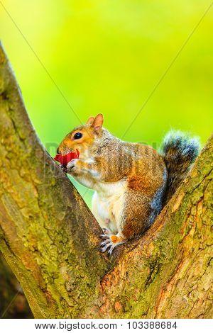 Grey Squirrel In Autumn Park Eating Apple