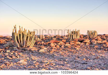 Cactus - Namibia