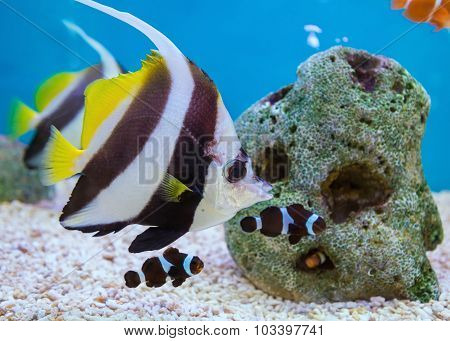 Tropical Fish Of Schooling Bannerfish Underwater In Blue Water