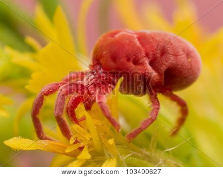 Red Velvet Mite On Yellow Flower