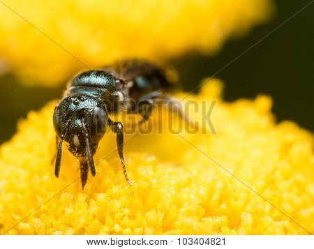 Front View Of Dark Green Metallic Sweat Bee On Yellow Flower