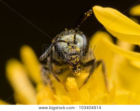 Dark Sweat Bee  Extracts Pollen From A Yellow Flower