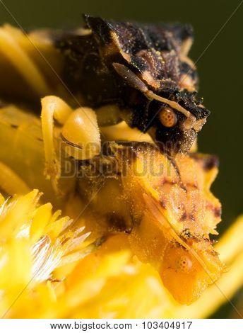 Ambush Bugs Mate On Yellow Flower