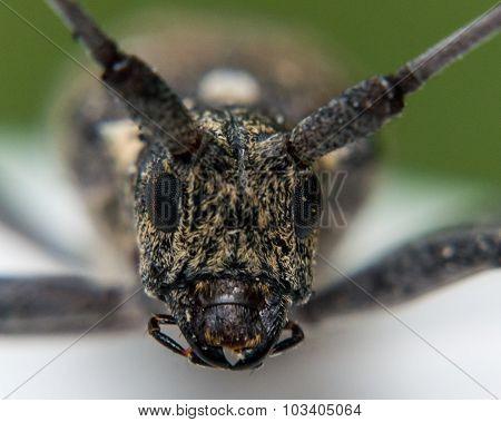 Close Up Portrait Of Longhorn Beetle Face