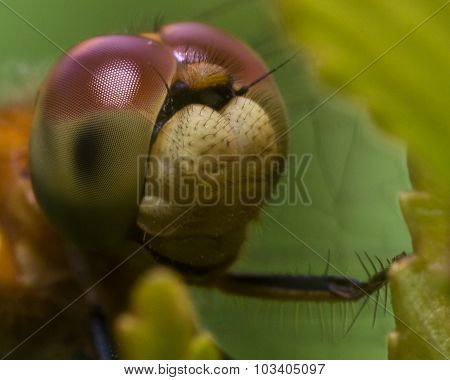 Close Up Portrait Of Dragonfly Face