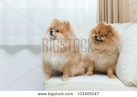 Puppy Pomeranian Dog Cute Pets Sitting On White Sofa Furniture