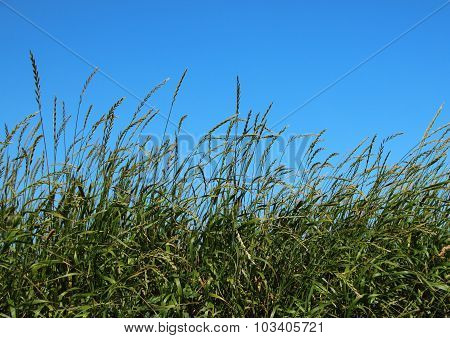 Green Straw Field With Blue Sky Background