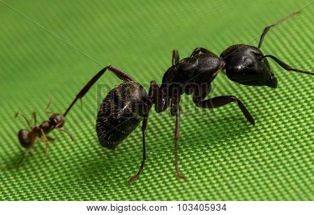Small Red Ant hangs on to Large Black Ant