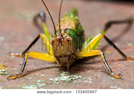 Bright Green and Yellow Grasshopper