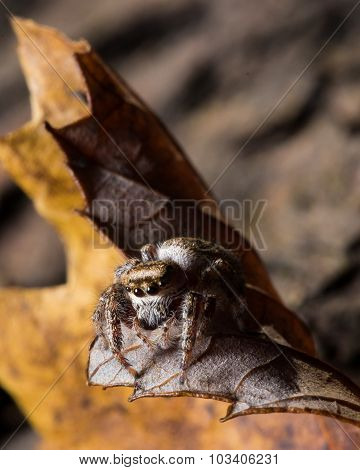 Brown Jumping Spider On Yellow Leaf