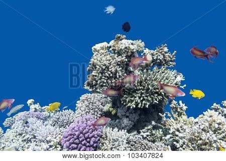 Coral Reef With  Fishes Anthias In Tropical Sea, Underwater