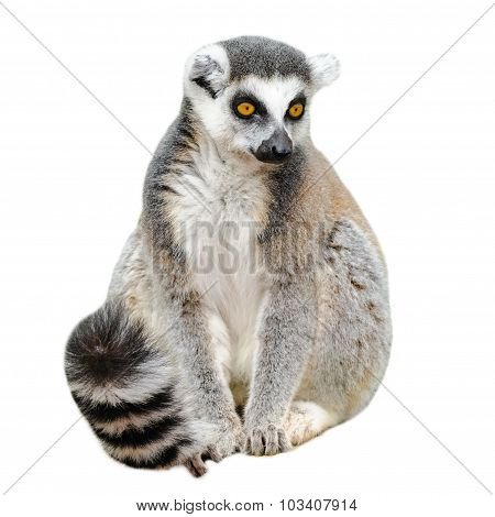 Portrait Of Lemur Katta (lemur Catta) On White Background
