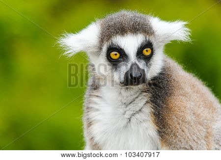 Portrait Of Young Lemur Katta (lemur Catta)