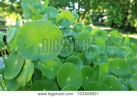 Natural Fresh Water Pennywort Or Centella Asiatica Leaf