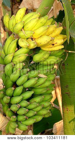Large Cluster Of Natural Bananas