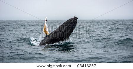 Whale Watching, Husavik, Iceland