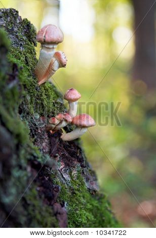 Toadstool Mushrooms