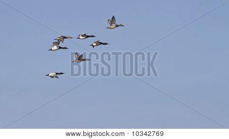 Lona Back patos en vuelo