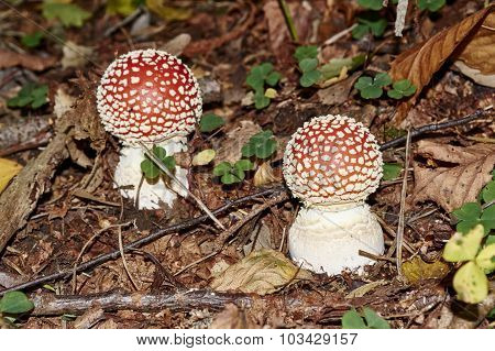 Closeup Of Young Amanita Muscaria Mushroom Deadly