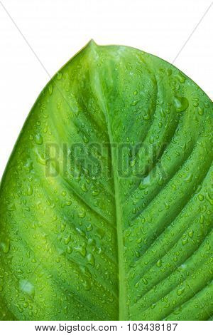 Close up green leaf with dewdrop, isolated on white background
