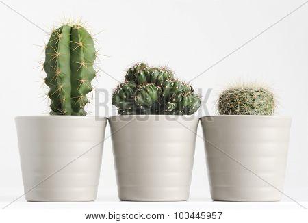 three different cactus on white