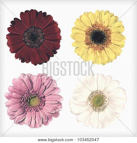 Four Fresh Gerbera Flowers Isolated Retro Vintage Style