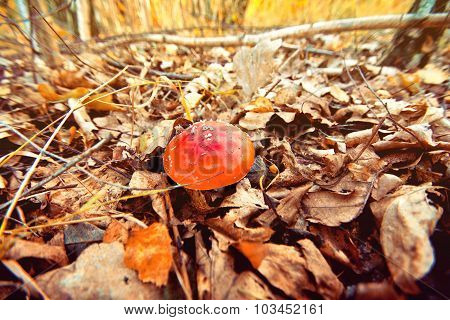 Autumn In The Forest. Toadstool.
