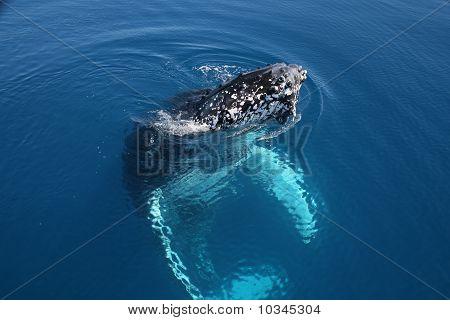 Humpback Whale Hervey Bay