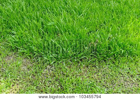 Cut And Uncut Grass Of Lawn Yard