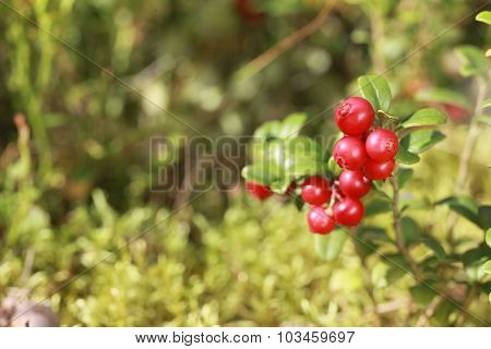 Lingonberry on a bush in the woods