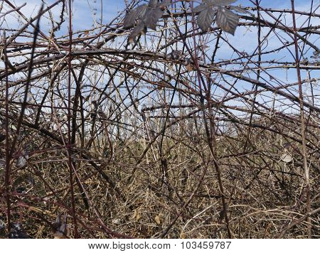 Brambles during the winter season