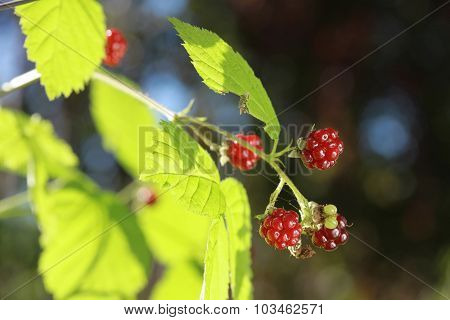 Berries of wild brambles on a branch