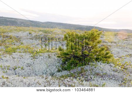 Dwarf pine in the Arctic tundra