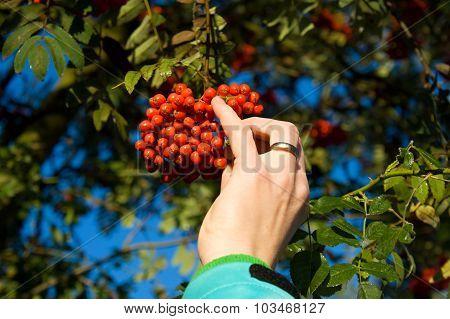 Hand And Red Rowan