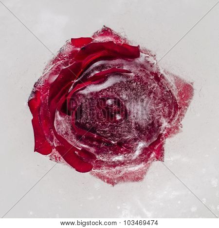 Rose flower frozen into ice block. Close-up.
