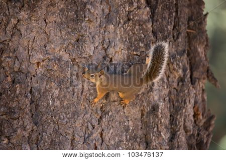 Douglas Squirrel (or chickaree)