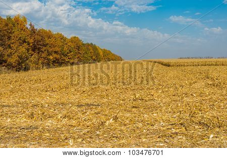 Landscape with maize field at harvest time