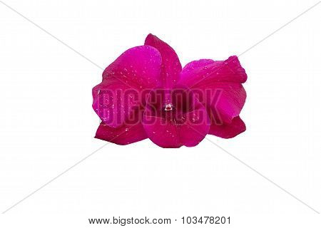 Violet Orchids On Isolated White