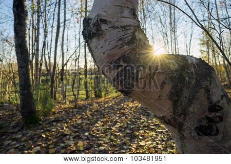 Curved Birch In The Sunlight Warm His Side.