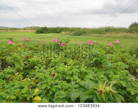 Heath landscape with roses