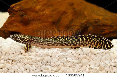 Delhezi Ornate Bichir Eel Catfish Polypterus ornatipinnis tropical aquarium fish