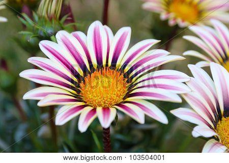 Gazania Flower field Gazania rigens macro shot