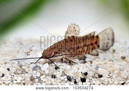 Port Hoplo Catfish Hoplosternum thoracatum aquarium fish