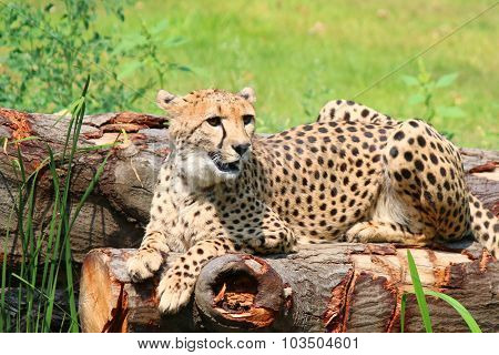 African Cheetahs Acinonyx jubatus sitting on tree