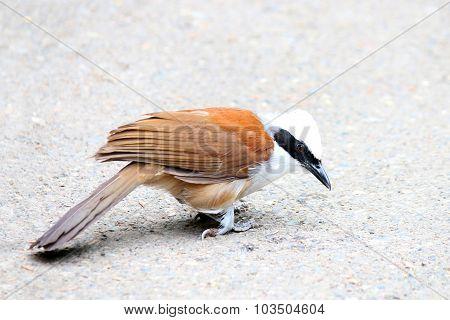 Bird white crested laughing thrush Garrulax leucolophus