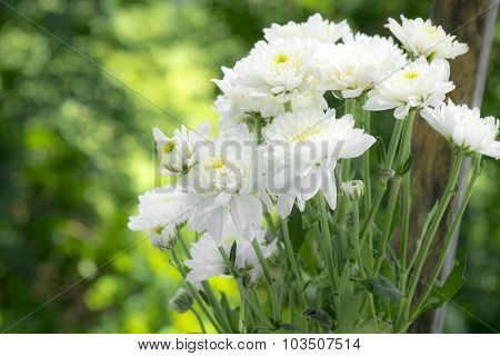 white Chrysanthemum flowers with boke background,soft focus